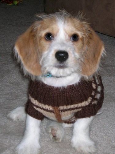 Dachsi Apso Dog Breed Information and Pictures  |Lhasa Dog Mix