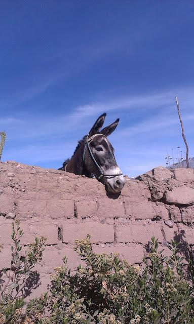 Transport w kanionie odbywa się przy pomocy osłów.