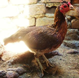 gallina fina para pie de cría en Colombia, gallos colombianos de pelea, pollos de pelea enviados a varias regiones de colombia