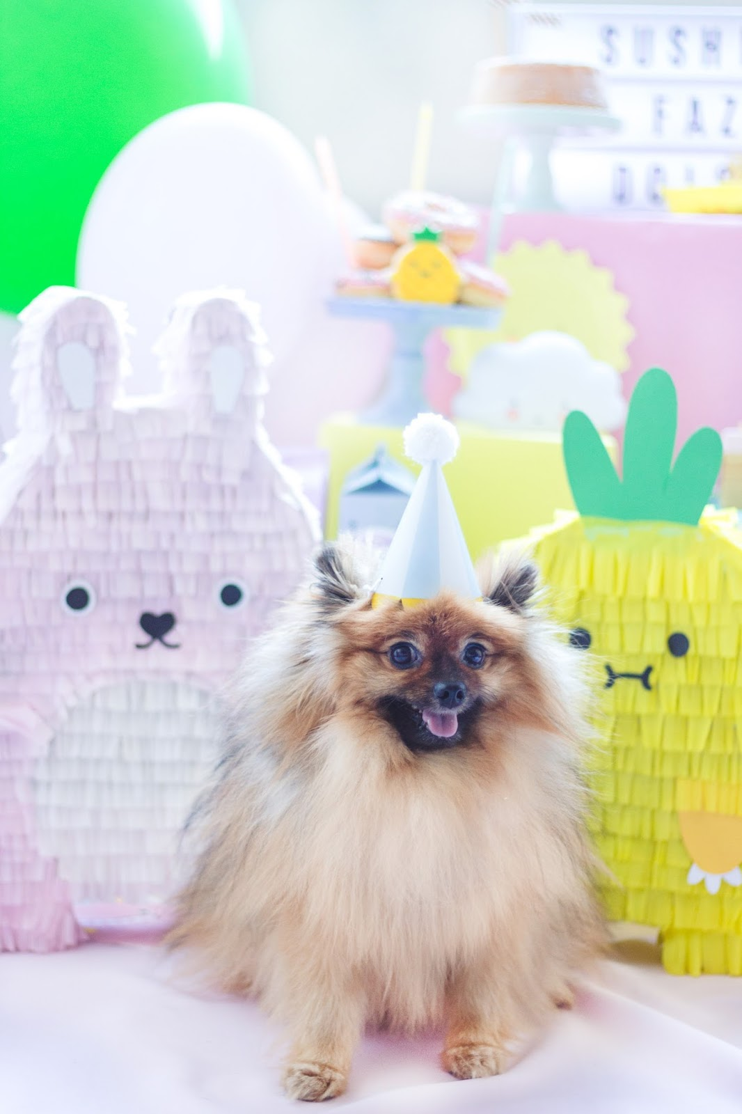 sushi pomeranian spitz alemão pet with birthday hat party