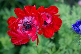 bunga anemone merah
