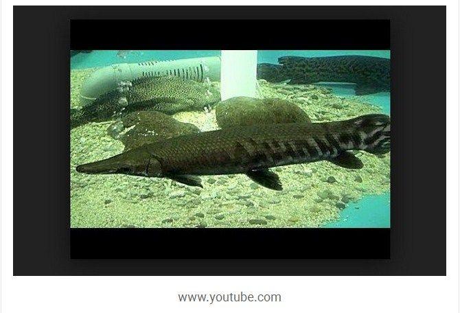 Harga Ikan Aligator