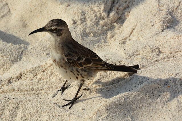 Gardner Bay Galapagos birds