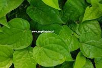 cara membersihkan organ kewanitaan dengan daun sirih