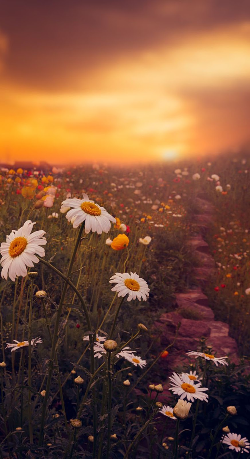 Chamomile in sunset