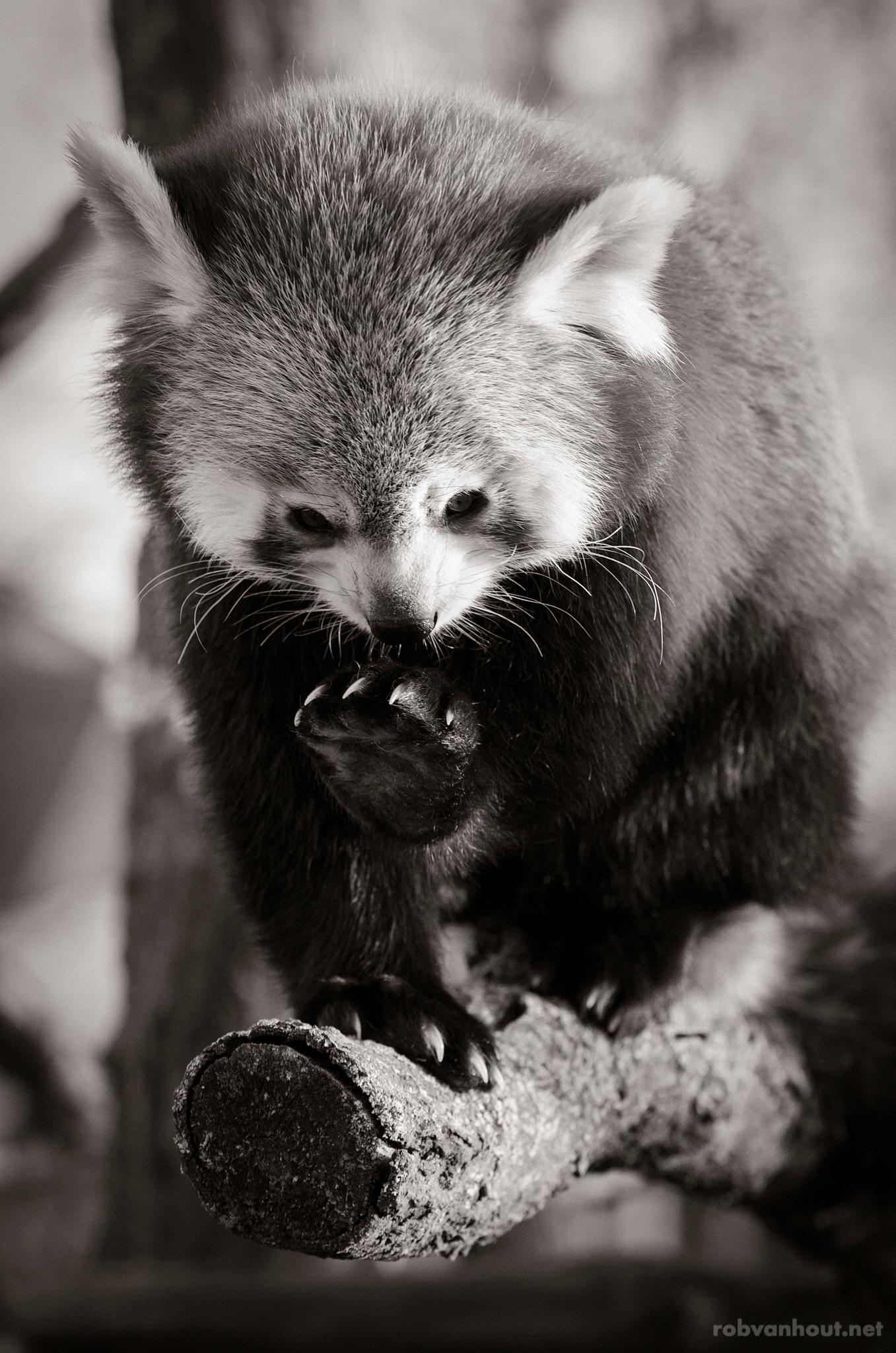 Red Panda — Dierenrijk Zoo