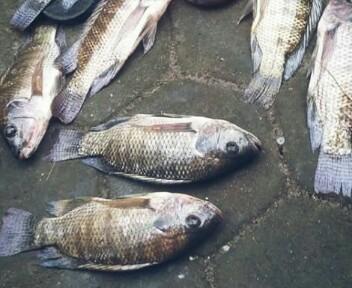4 Cara Mancing Ikan Nila Yang Susah Makan Sudah Terbukti Hobinatang