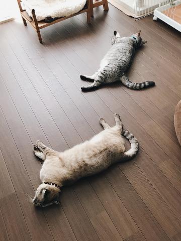 サバトラ猫とシャムトラ猫が床の上に落ちてる