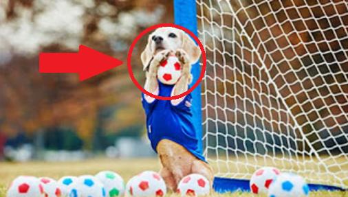 Keren..! Anjing Pemecah Rekor Dunia Menjadi Kiper Berbakat