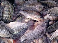 Waspada! Inilah bahaya jika memakan Ikan Nila! Baca Sebelum Komentar..