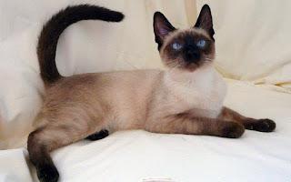gambar kucing Balinese