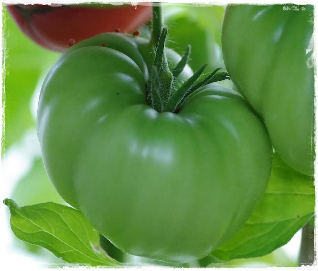 grüne Tomate - Gartenblog Topfgartenwelt