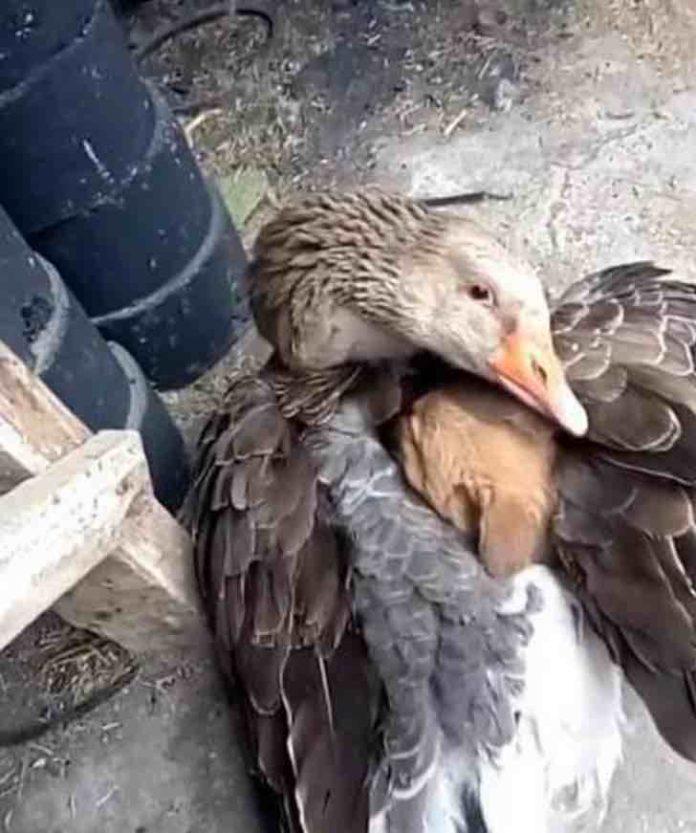 Pato abraça um filhote para aquecê-lo, ele dá carinho depois