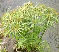 Umbrella Palm, Pond Veggie Filter