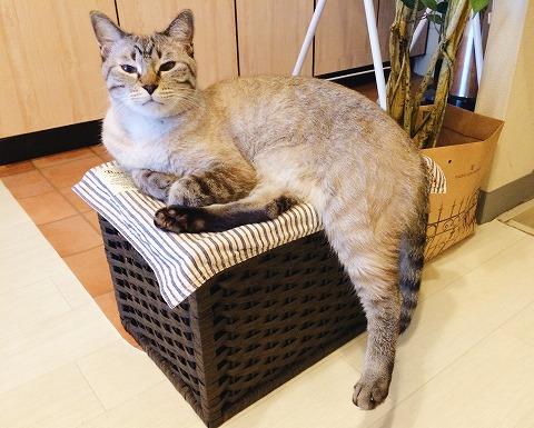 箱の上に座ってるけど後ろ足がはみ出ちゃってるシャムトラ猫