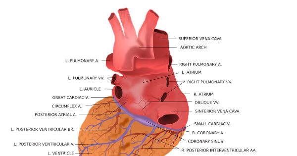 biology heart notes Home gcse biology  blood and the circulatory system the heart the heart  is a pump that circulates blood all around the body it is approximately the size.