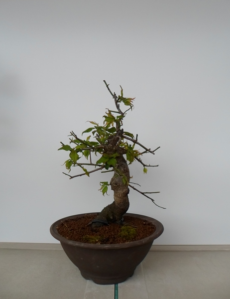prunus mume bonsai