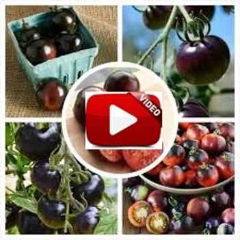 Video Cara Menanam Tomat Ungu Indigo Rose Di Polybag Pot Agar Cepat Berbuah Yang Baik Dan Benar