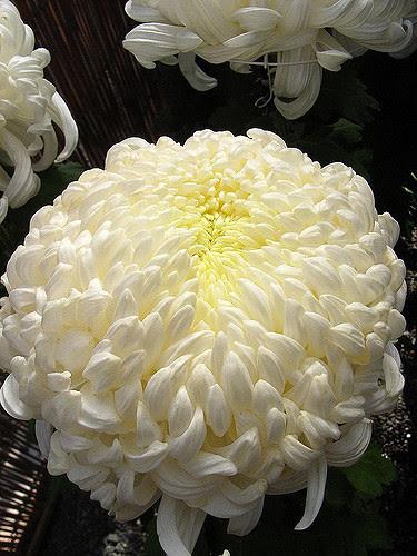 Un beau chrysanthème blanc