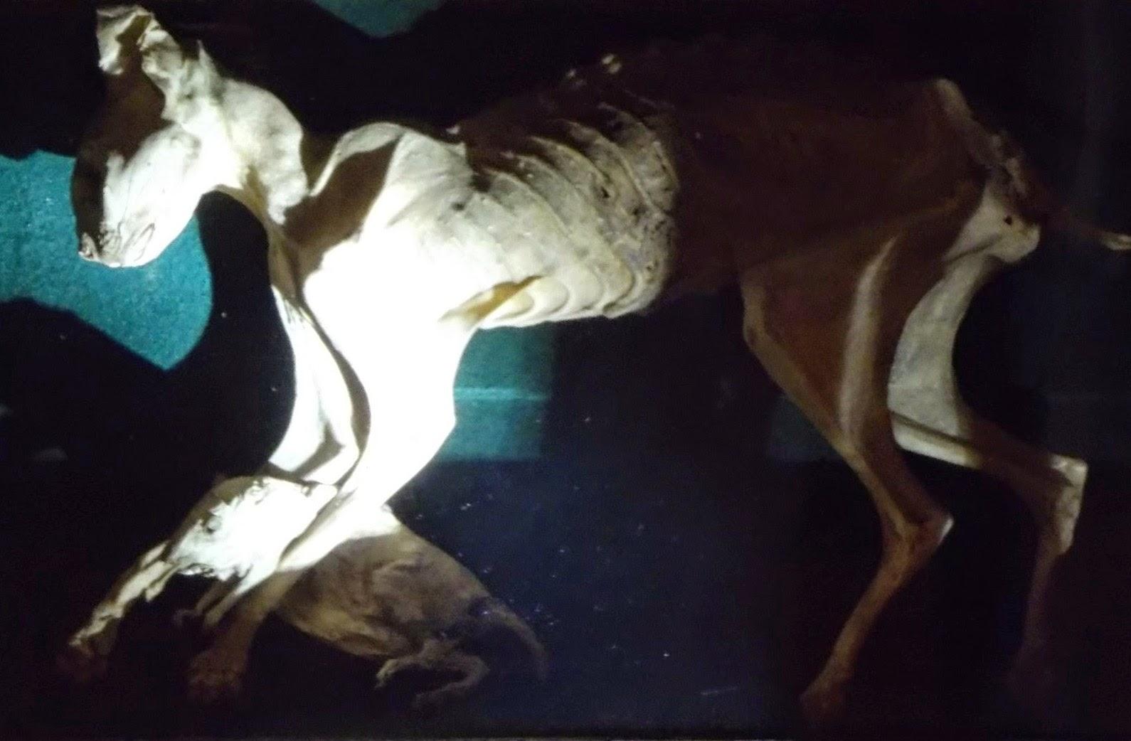 The embalmed cat of Doge Francesco Morosini, Natural History Museum, Venice