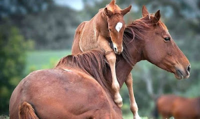 Η εκπληκτική στιγμή της γέννησης αλόγου... χωρίς βοήθεια (βίντεο)