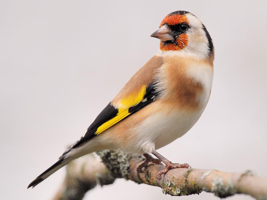 Певчие птицы - птицы России