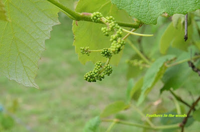 Tiny grape clusters on the vine