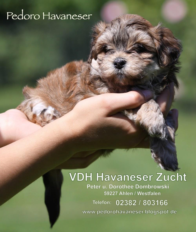 Havaneser Kleinhunde Rasse FCI Gruppe 9 Bichon Rasse VDH VK Liebhaberzucht PEDORO