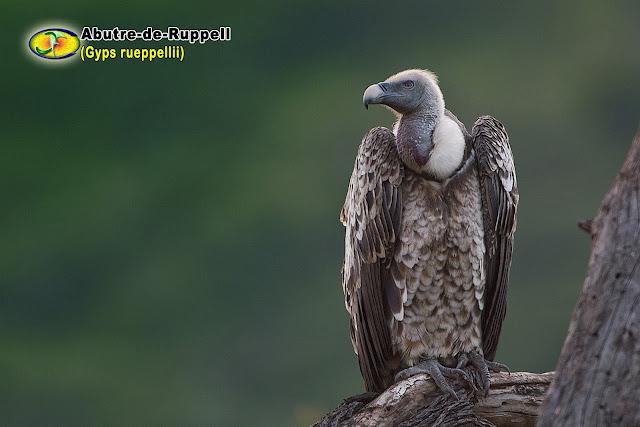 Resultado de imagem para abutre de ruppel
