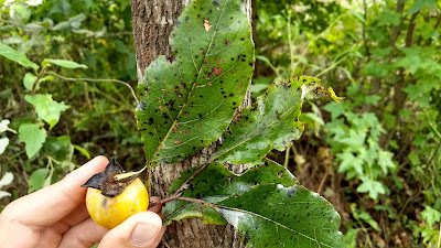 Pura Vida Conservation Assisted Natural Regeneration reforestation persimmon fruit