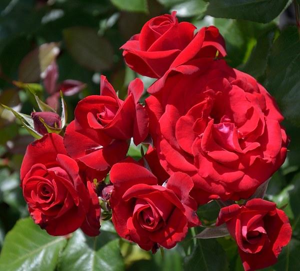 Lubecker Rotspon сорт розы фото