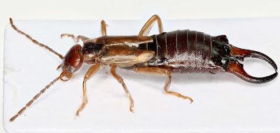 ordo serangga dan gambarnya