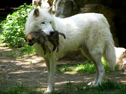wolf pup wolves fluffy arctic baby carrying pups mother mum cub female babies gray grey animals moms cute mom newborn