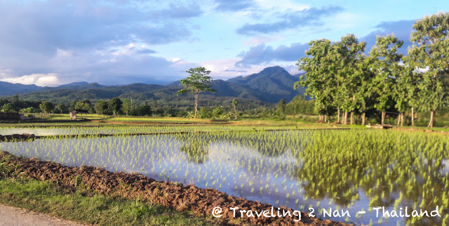 Green rice fields in Pua, Nan - Thailand