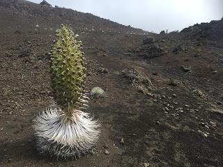 plante rare a Maui