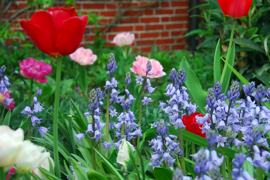 Flores azules bulbo de primavera de jacinto de campo (spanish bluebells)