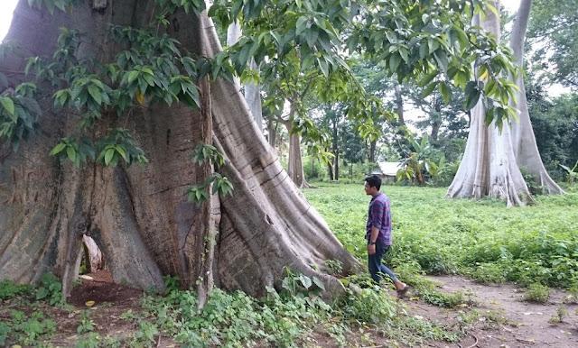 Wisata Pohon Purba Lian Lombok