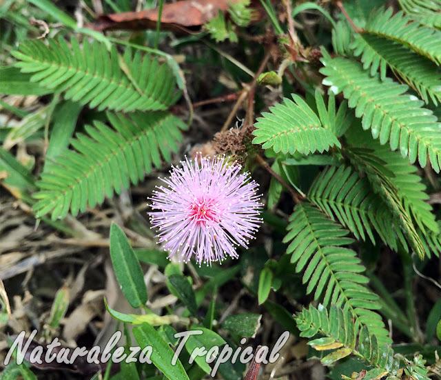 Vista de la planta Dormilona o Vergonzosa (Mimosa pudica) donde se observan sus hojas e inflorescencia