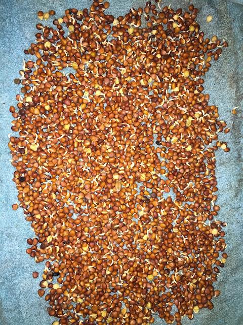 Ủ hạt rau mầm