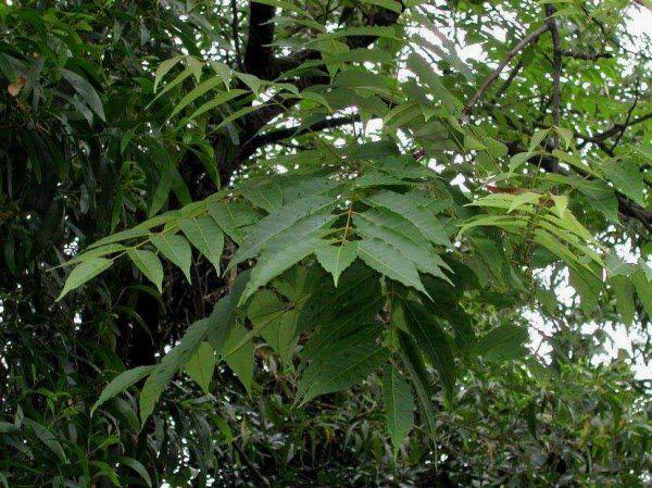 Xoan Nhừ (Xoan Rừng) - Choerospondias axillaris - Nguyên liệu làm thuốc Đắp vết thương Rắn Rết cắn