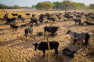 Buhari's farm 3