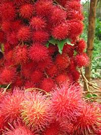 Efficacy and benefit of Rambutan content