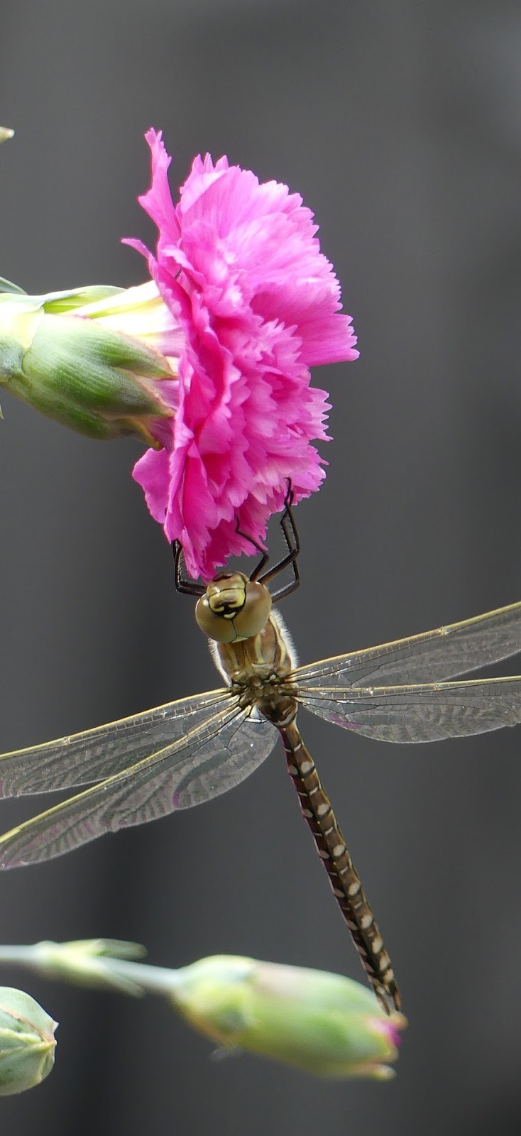A dragonfly on a red flower.
