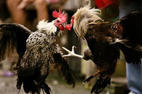 Trò chơi đá gà nổi tiếng Việt Nam