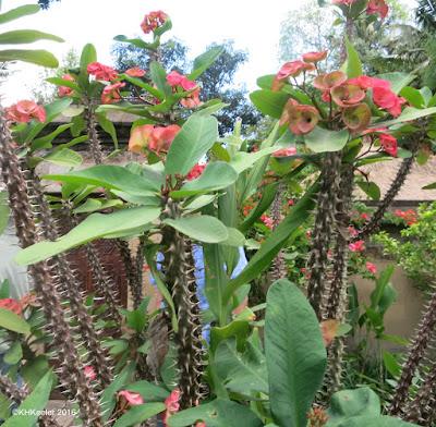 Euphorbia, Bali