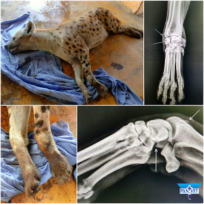Rendgenska dijagnostika artritisa hijene - Panvet
