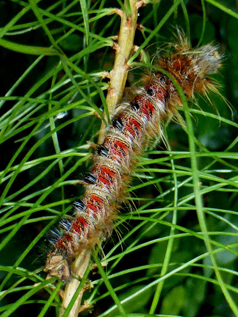 Gastroplakaeis meridionalis caterpillar