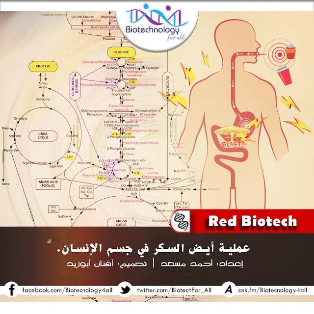 عملية أيض السكريات في جسم الإنسان