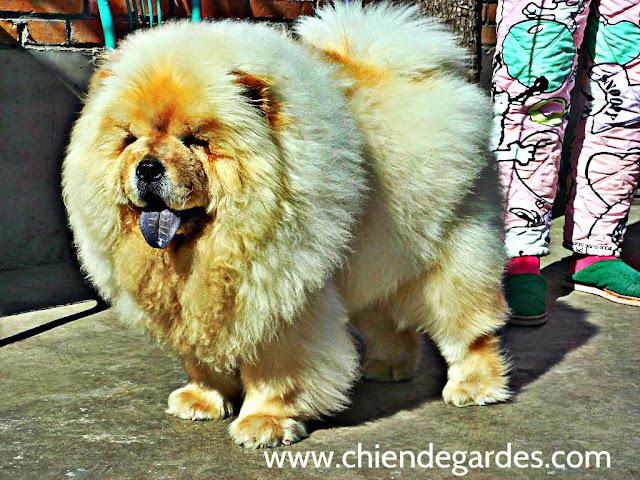 CHow-CHow chien de garde Blanc