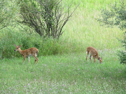 whitetail twin fawns